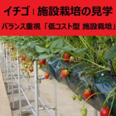 イチゴ | 施設栽培の見学