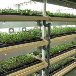 植物工場における薬用植物「甘草」の市場動向~各社による栽培&撤退事例~