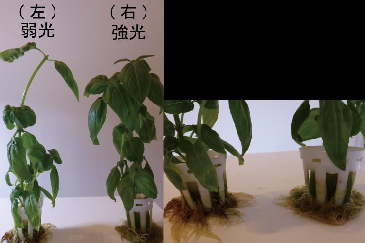 植物工場でのバジル栽培実験。必要となる光量は?