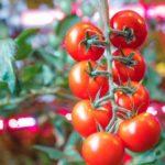 植物工場における照明コスト・販売価格 ~LED光源・蛍光灯~